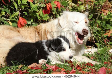 Perra agradable Border Collie con cachorro