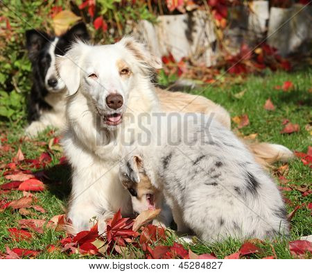 Border Collie Bitch With Puppy