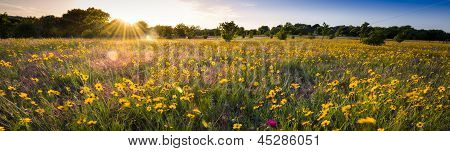 Texas Sunflower Panorama
