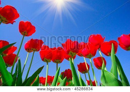 Pretty Tulips  By Springtime.