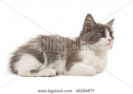 Grey and white kitten