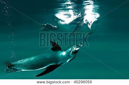 Penguins Swimming Together
