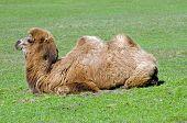Постер, плакат: Бактрийское верблюд