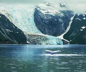 foto of rainforest animal  - Humpaback Whale in  Alaska - JPG