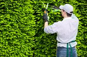 stock photo of prunes  - Professional gardener pruning an hedge - JPG