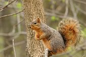 Eastern Fox Squirrel, Sciurus Niger