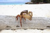 picture of sea-scape  - poo kai crab on white sand beach of tachai island similan national park