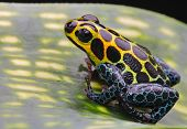stock photo of poison frog frog  - tropical pet animal - JPG