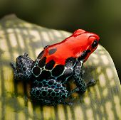 stock photo of poison arrow frog  - red poison dart frog - JPG