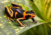 stock photo of orange poison frog  - Red striped poison dart frog - JPG