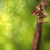 Tree frog tropical background or wallpaper. Treefrog Hypsiboas picturata from the Amazon rain forest