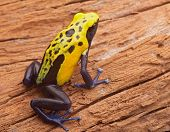 stock photo of dart frog  - Yellow poison dart frog - JPG