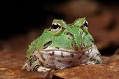 Pacman frog or toad, South American horned frogs Ceratophrys ornata (Argentine horned frog) Tropical