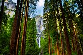 foto of snow forest  - Yosemite Waterfalls behind Sequoias in Yosemite National Park,California