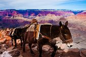 foto of mule  - Mules Climbing up with Goods in Grand Canyon National Park in Arizona - JPG
