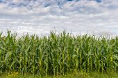 Cornfield and cloudy sky with copy space ideal for backgrounds