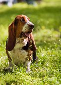 Basset Hound Sitting In Green Grass