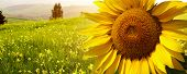 stock photo of sunflower  - Tuscany sunflowers - JPG