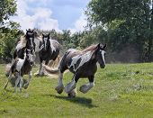 stock photo of gypsy  - Herd of Gypsy Vanner (Irish Cob, Gypsy Cob) horses running down a hillside.