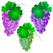 Grape Set. Vector