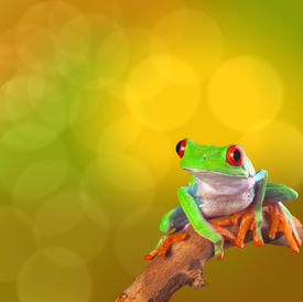 stock photo of cute frog  - Red eyed tree frog from Costa Rica rain forest - JPG