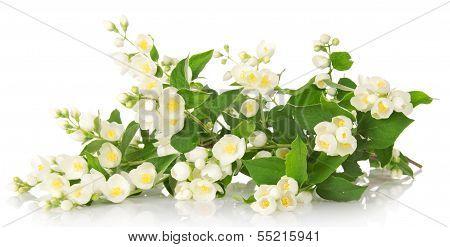 Odorous jasmine