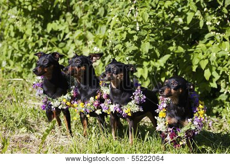 four miniature-pinschers celebrating mid-summer with flowers.