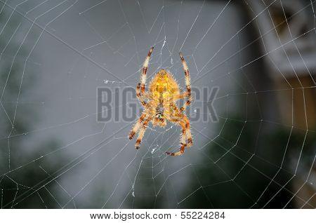 Common garden spider.