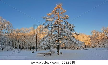 Sunrise in snowy park. Larch tree in central position. Panoramic view.