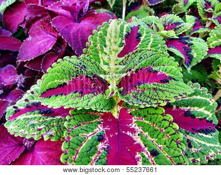 Coleus With Red And Green Leaves