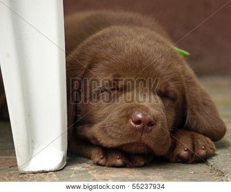 Sleeping chocolate lab puppy