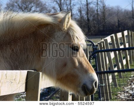 Norwegian Fjord Horse Head Over Fence
