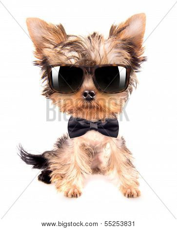 dog wearing a neck bow and shades