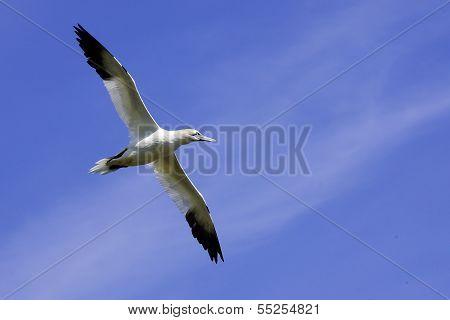 An adult Northern Gannet (Morus bassanus) in flight.