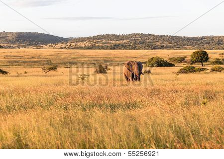 Bull Elephant Grass Wilderness
