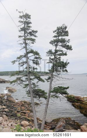 V Shaped Pine Tree