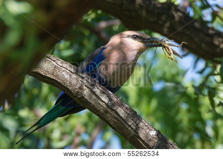 Blue-bellied Roller With Large Grasshopper