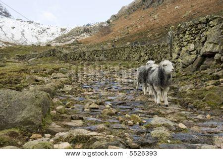 Herdwick Sheep In Lake District