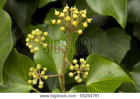 Ivy Buds