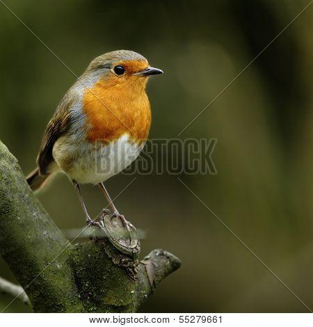 A portrait of an adult Eurasian Robin (Erithacus rubecula).
