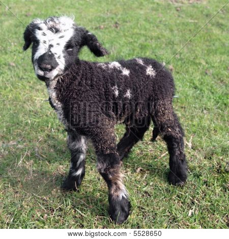 Day Old Black Lamb