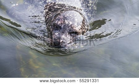 Harbor Seal Winking