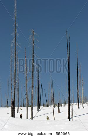 Charred Trees In Snow