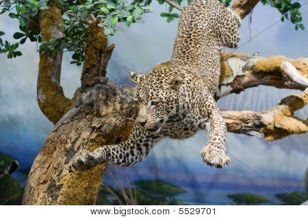 Taxidermy Of A Leopard In Action.