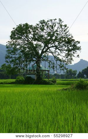 Large Tree On Rice Field
