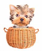 happy yorkie toy standing in a basket