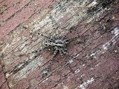 foto of shaky  - Gray spider crawling on board with cracked paint - JPG