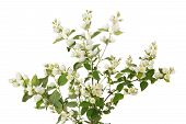 stock photo of jasmine  - Twig of blooming jasmin isolated on white background - JPG
