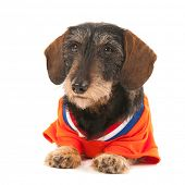 stock photo of long hair dachshund  - Wire haired dachshund as Dutch soccer sports fan isolated over white background - JPG