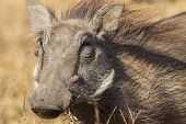 Warthog Animal Detail